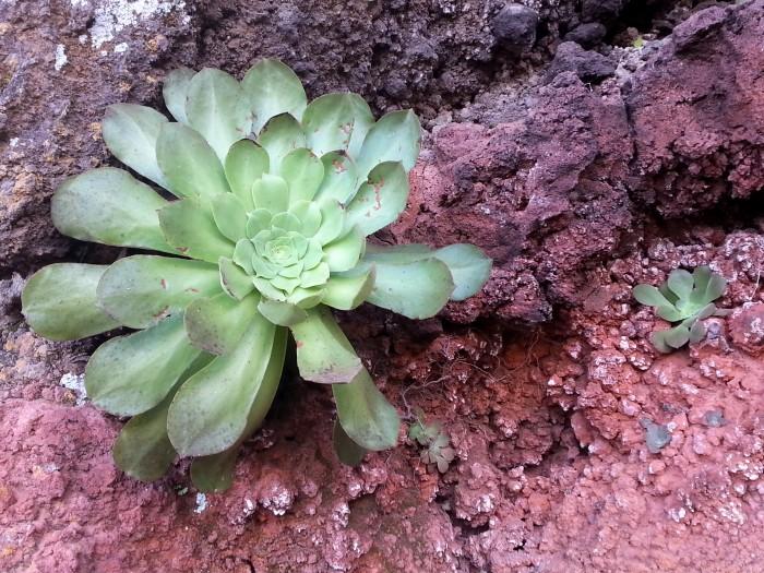 Il fiore di El Hierro, l'eonio